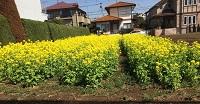 【春分の日】菜の花畑と手作りクッキー